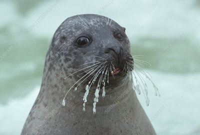 Common seal with frozen whiskers, UK
