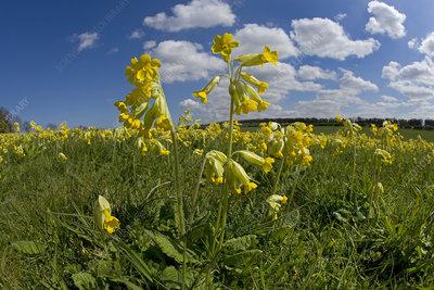 Cowslip flowers (Primula veris) Norfolk, UK