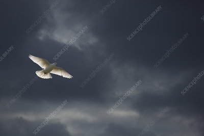 White Fantail pigeon in flight against dark clouds, UK