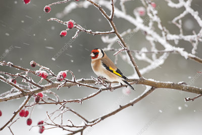 Goldfinch perched among rosehips in snow, UK