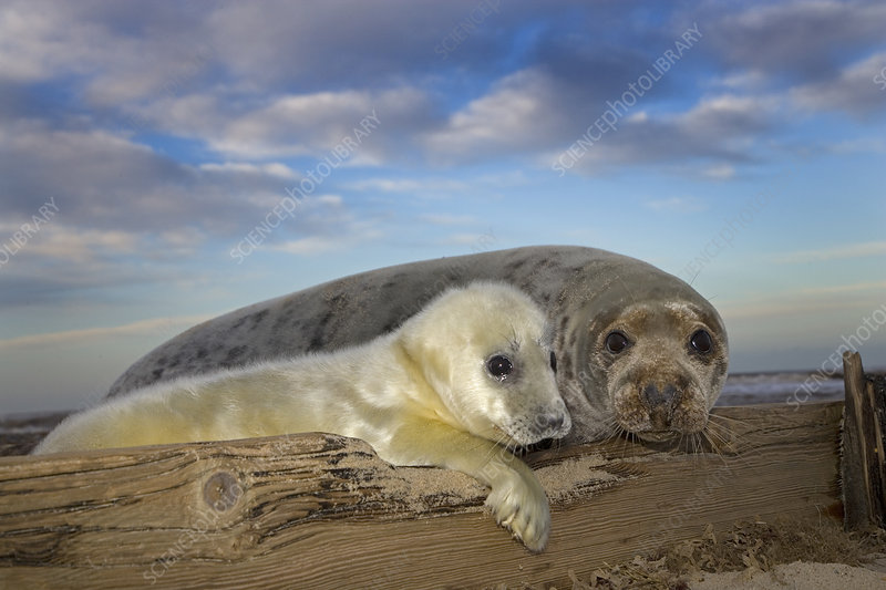 Grey seal pup and female on beach, Norfolk, UK