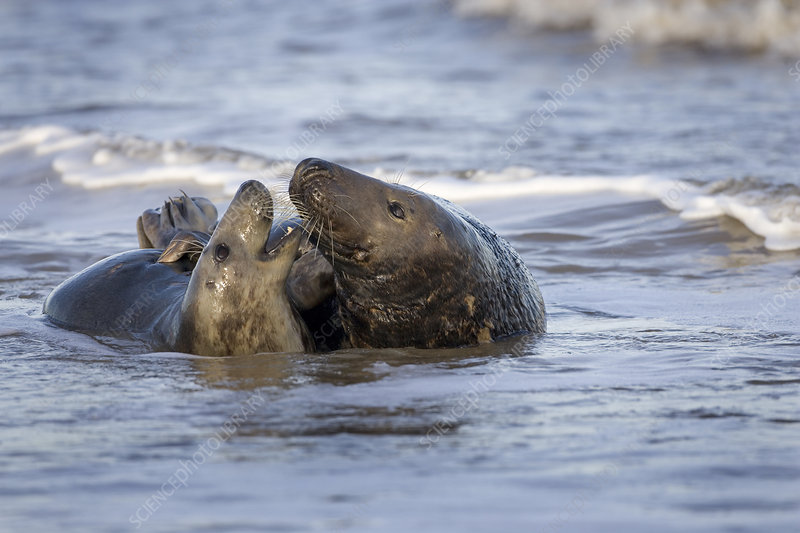 Grey seal pair mating in shallow water on beach, Norfolk, UK