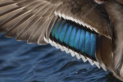 Mallard close up of plumage on wing of drake, UK