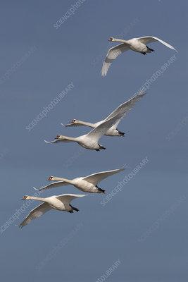 Five Mute Swans in flight, UK