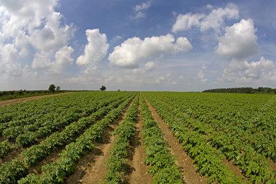 Field of Potato plants (Solanum tuberosum) Norfolk, UK