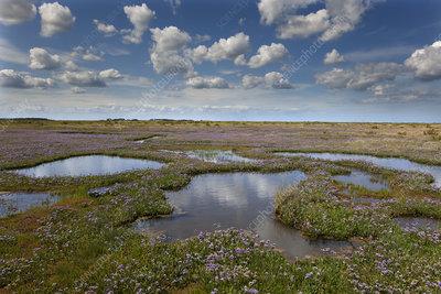 Sea lavender (Limonium vulgare) flowering