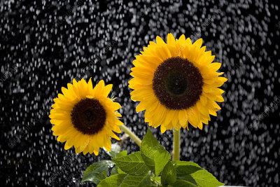 Sunflowers (Helianthus annuus) in rain, Norfolk, UK