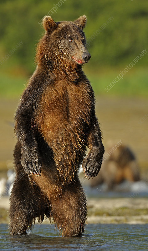 Grizzly Bear standing on hind legs hunting for salmon