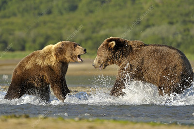 Grizzly Bear male and female fighting in water over salmon