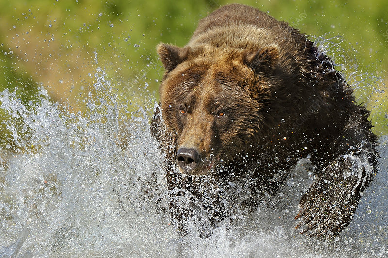 Grizzly Bear chasing through water after salmon