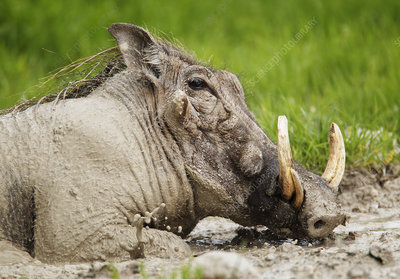 Warthog male wallowing in mud, Etosha National Park, Namibia