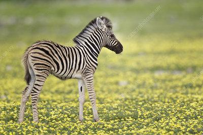 Zebra foal in profile standing in Devil's Thorn flowers