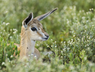 RF0 Springbok lamb hidden in grass