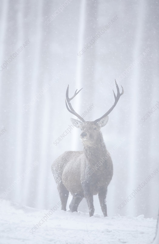 Red deer stag in pine forest in snow blizzard