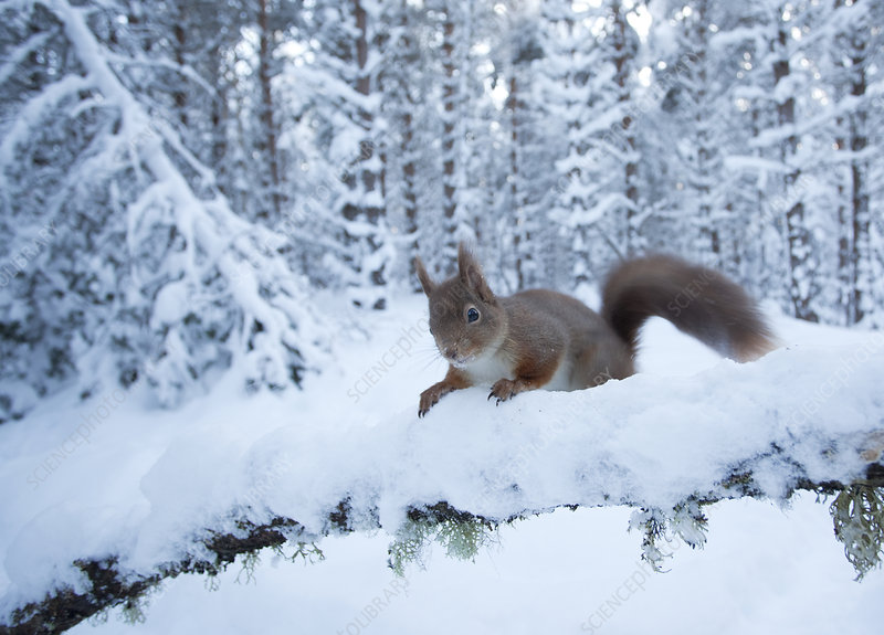 Red squirrel on snow-covered branch in pine forest