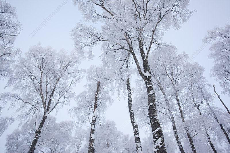 Canopy of Silver birch trees (Betula pendula)