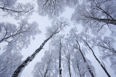 Canopy of Silver birch trees (Betula pendula)