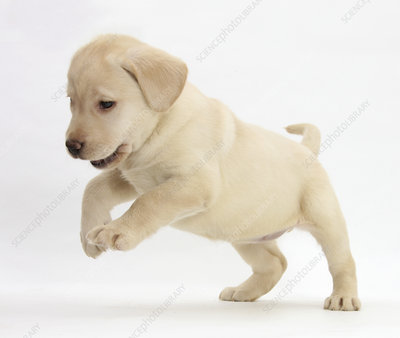 Playful Yellow Labrador puppy jumping