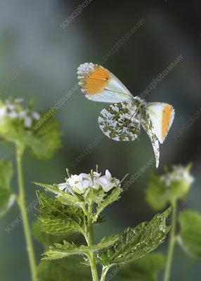 Orange-tip Butterfly taking off from Garlic Mustard