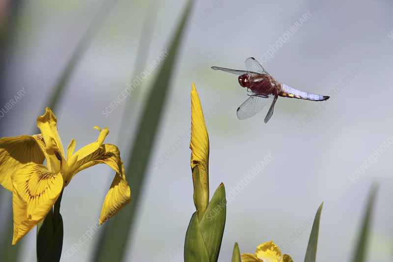 Broad-bodied Chaser Dragonfly male flying