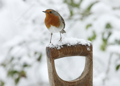 European Robin male on a snowy fork handle, Surrey, UK