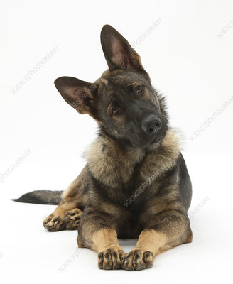 German Shepherd Dog looking inquisitively with tilted head
