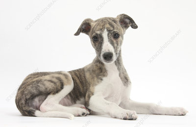 Brindle-and-white Whippet puppy