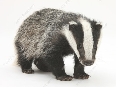 Portrait of a young Badger