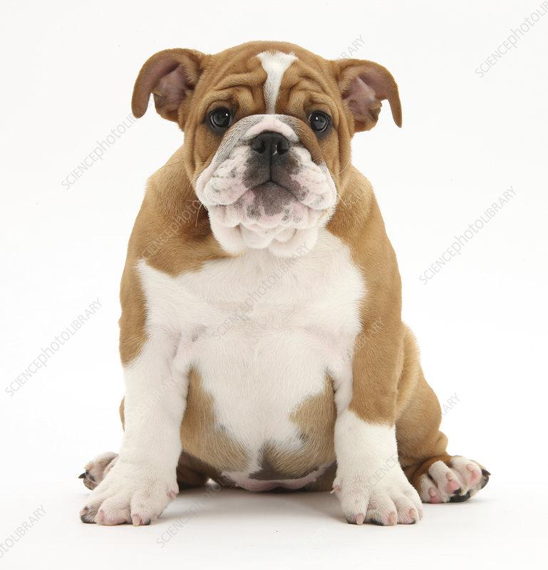Portrait of a Bulldog puppy