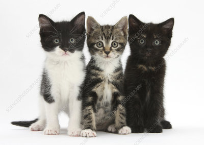 Three kittens sitting together in line