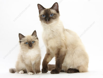 Birman-cross cat and kitten