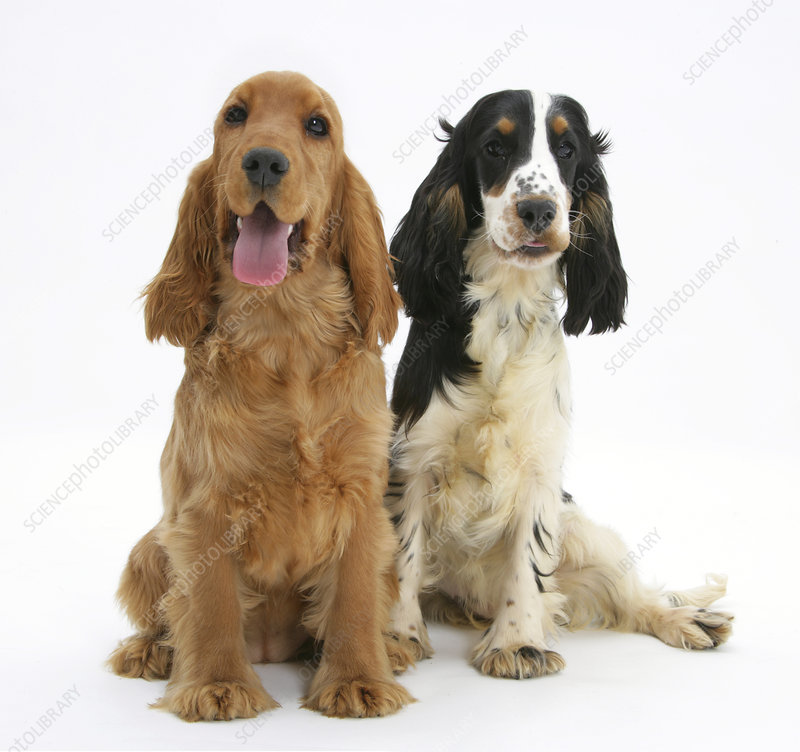 Red Golden and tricolour English Cocker Spaniels