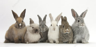 Six baby rabbits in line