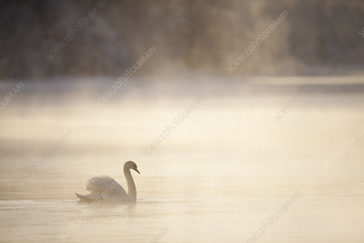 Mute swan on water in winter dawn mist