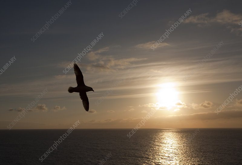 Silhouette of Fulmar in flight against evening sky with sun