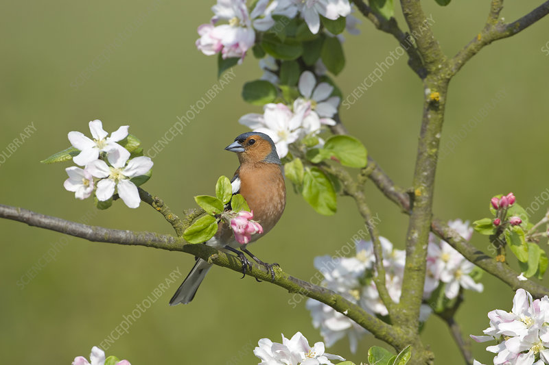 Chaffinch male perching by apple bossom, UK