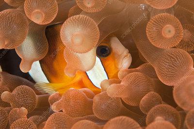 Clarke's anemonefish hiding among tentacles of sea anemone