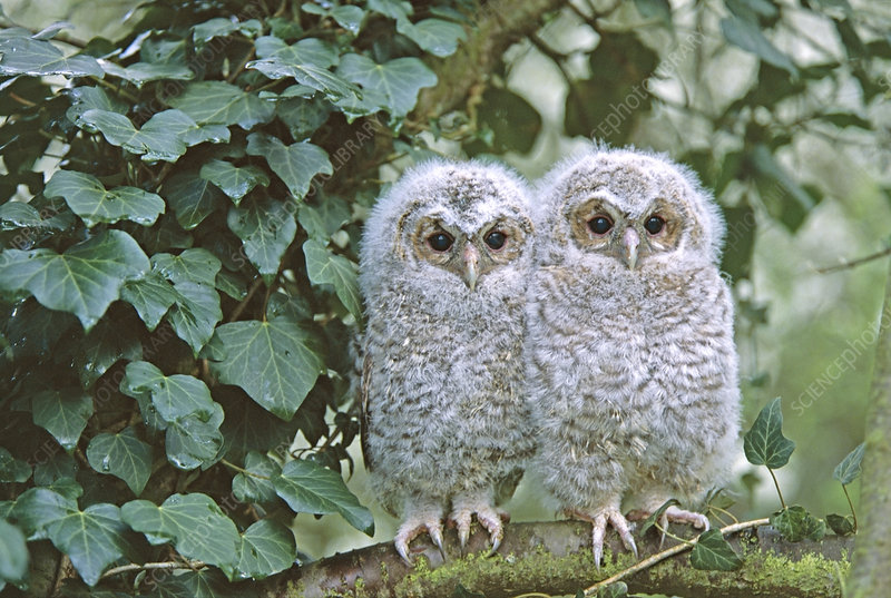 Tawny Owl two chicks perched on branch near nest in tree, UK
