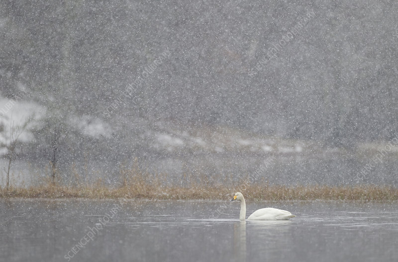 Whooper swan on water during snow storm