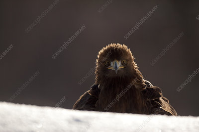 Golden eagle in winter