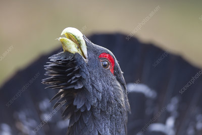 Capercaillie male displaying