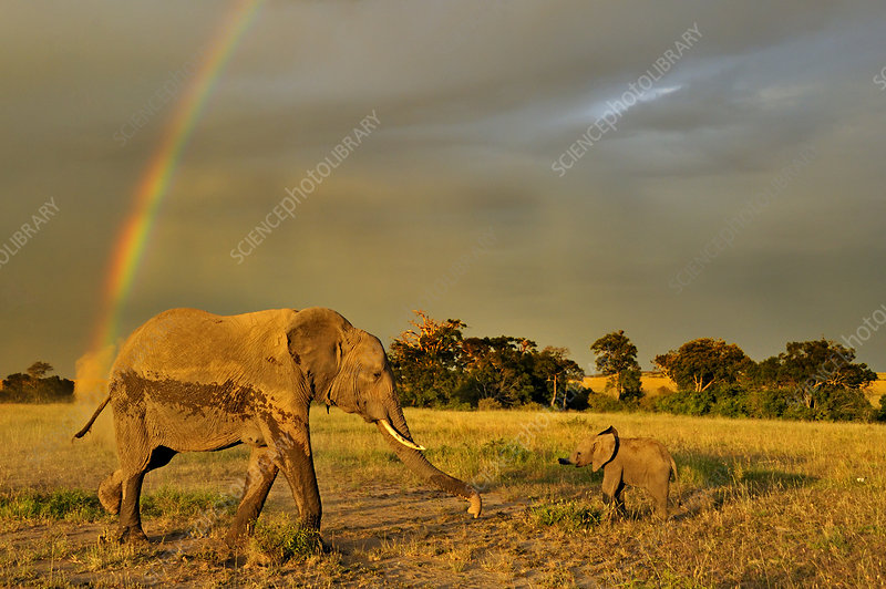 African elephant mother and baby with rainbow in background