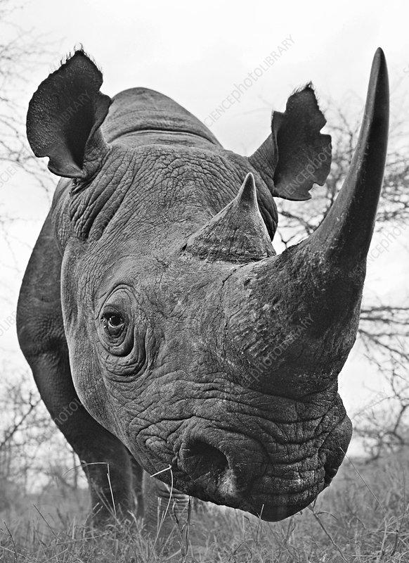 Black rhinoceros low angle, Swaziland
