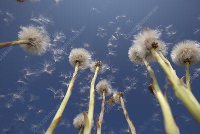 Coltsfoot (Tussilago farfara) seedheads