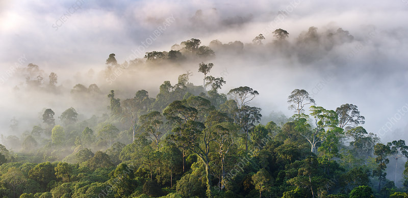 Mist hanging over lowland rainforest just after sunrise