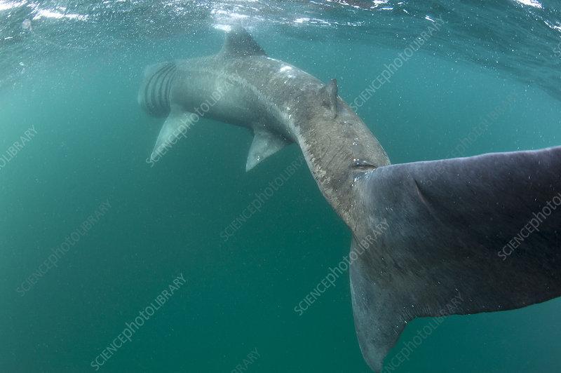 Rear view of Basking shark feeding on plankton