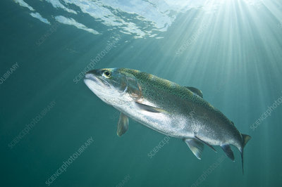 Rainbow trout in lake, Capernwray, Lancashire, UK