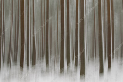 Abstract of winter pine forest