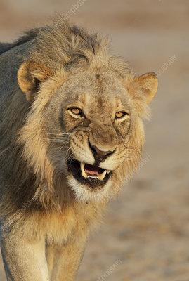 African lion young male snarling