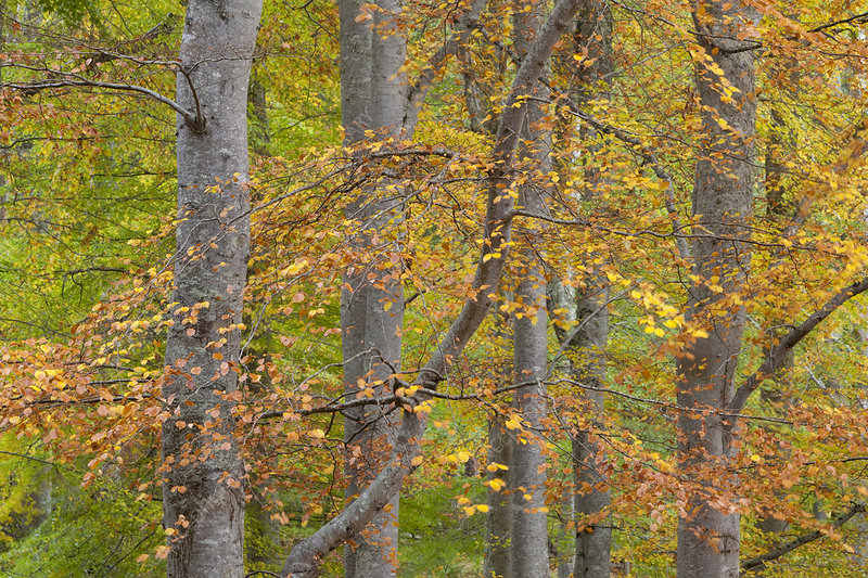 European beech (Fagus sylvatica) changing colour in autumn
